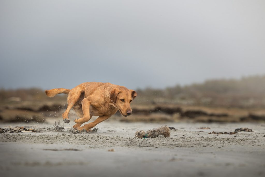 Labrador som hämtar dummie på stranden