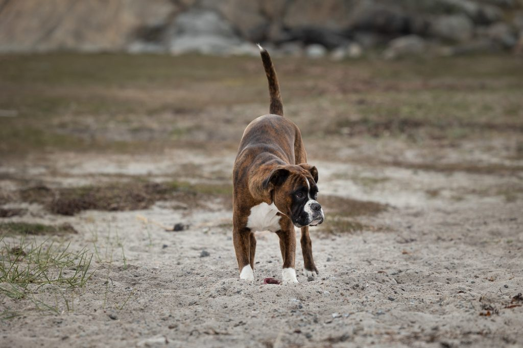 Boxer som gräver i sanden