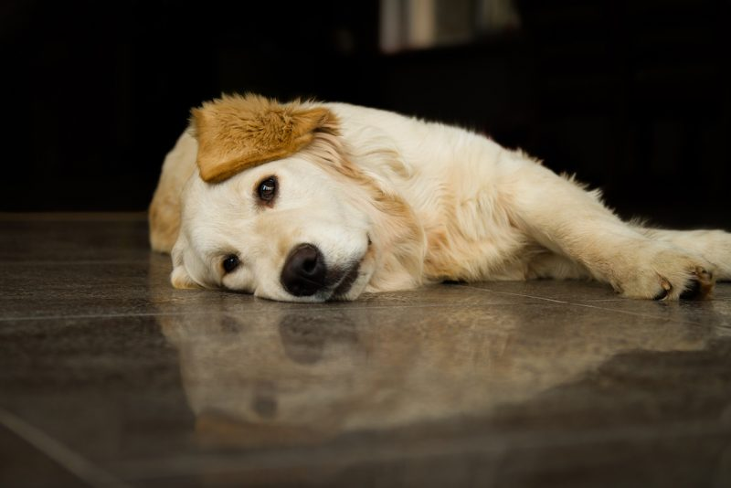 Att förebygga och lindra smärta hos hund